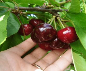 Catastro: Plantaciones de cerezo